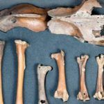 Photo: Dodo Bones